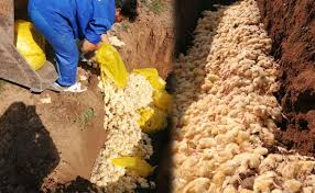 معدوم سازی جوجه یکروزه به علت کاهش قیمت جوجه